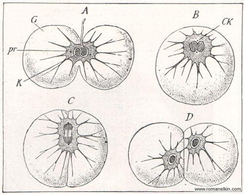 Слияние и деление у одноклеточных простейших животных: ночесветки