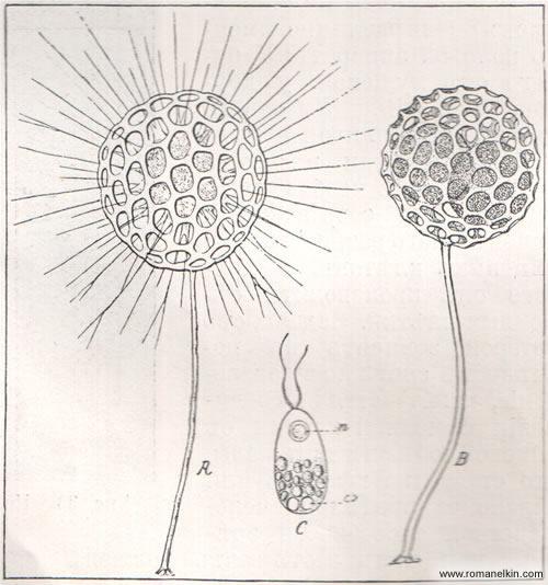 Воспроизведение у одноклеточного простейшего животного из порядка солнечников: Clathrulina elegans