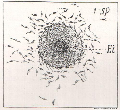Яйцевая клетка морской водоросли, окруженная подвижными семенными клетками