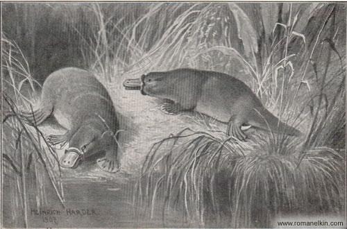Австралийские утконосы