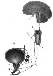 Влияние давления на мочевой пузырь и скорость работы мозга